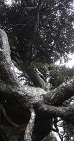 kalaloch_roots